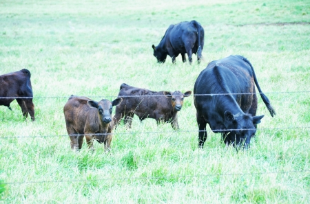 cattle wire wires: Beef Cattle