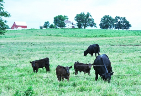 cattle wire: Beef Cattle