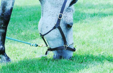 dapple grey: Horse Grazing Stock Photo
