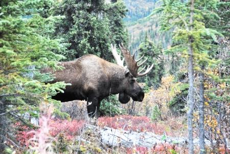 denali: Denali Moose