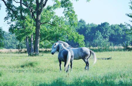 dapple grey: Two Percherons