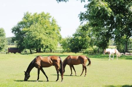 Horses Grazing Archivio Fotografico