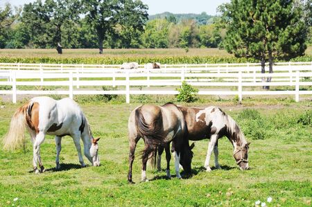 Three Horses Grazing photo