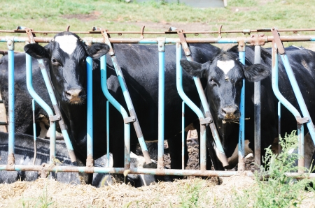 stanchion: Cows in Stanchion