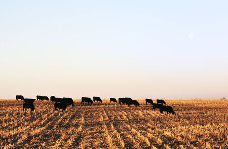 Cattle at Moonset photo