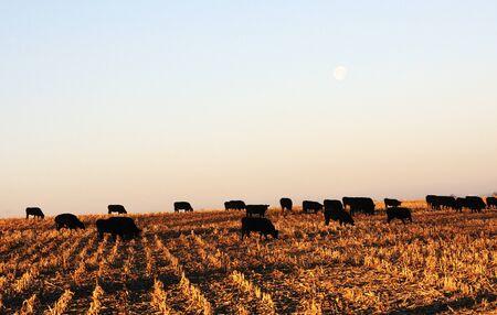 Cows at Moonset photo