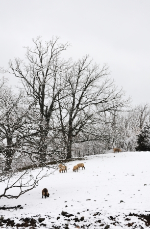 Sheep in Snow photo