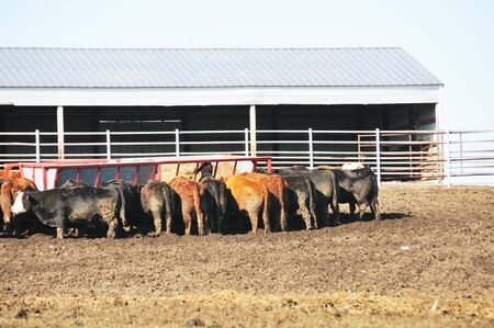 Cows Feeding photo