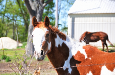 Pinto at Fence Stock Photo - 18169005