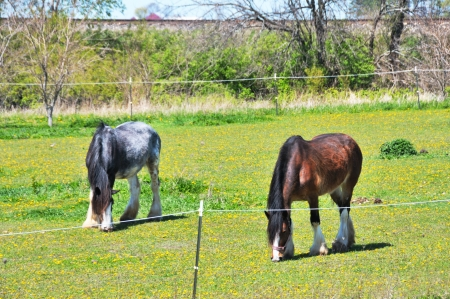 clydesdale: Two Horses Stock Photo