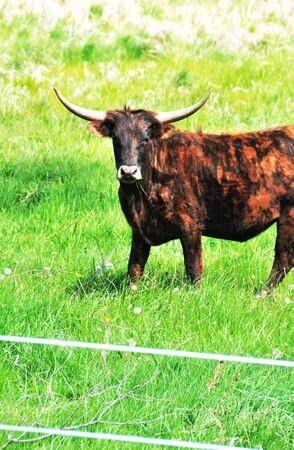 cattle wires: Longhorn Bull Stock Photo