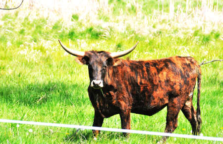 cattle wire wires: Longhorn Bull Stock Photo