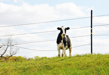 cattle wire wires: Cow on Hill