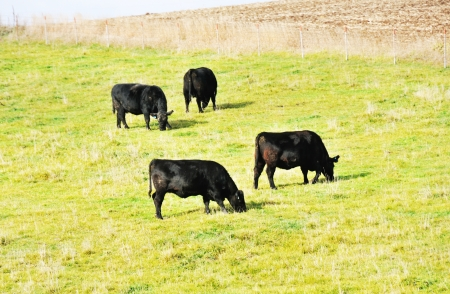 Four Black Cows photo