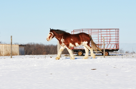 clydesdale: Walking Horse