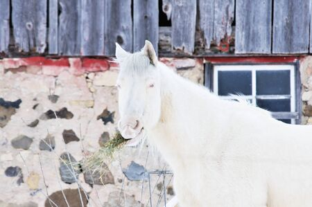 White Horse by Barn photo