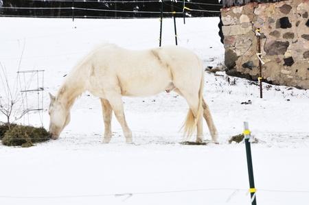 White Horse in Snow photo