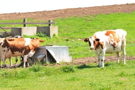 dairy cattle: Dairy Cattle Stock Photo
