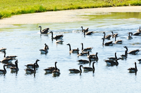 Swimming Geese photo