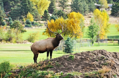 Elk on Golf Course Stok Fotoğraf