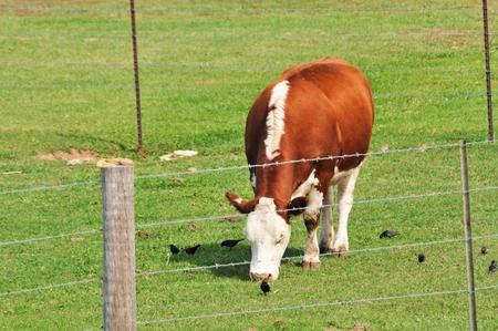 grazing: Hereford Grazing Stock Photo