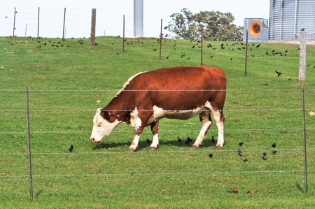 cattle wire wires: Hereford Grazing Stock Photo