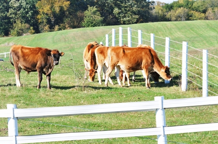 jersey cattle: Brown Cows Stock Photo
