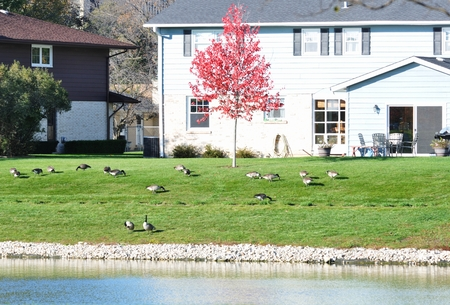 back yard pond: Geese in the Yard