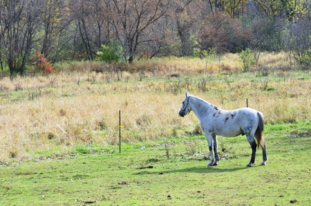 appaloosa: Staring Horse Stock Photo