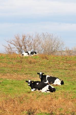 Resting Holsteins photo