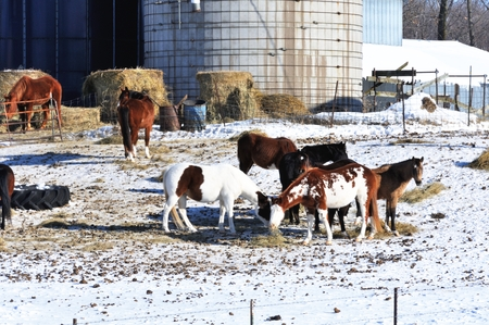 Horses in Snowy Corral photo