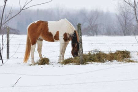 Horse Eating Hay photo
