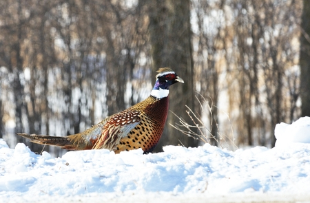 pheasant: Pheasant in the Snow