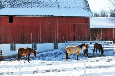 buckskin horse: Horses by Barn