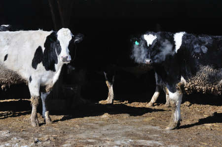 cold: Cold Cows