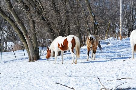 buckskin horse: Horses in Snow Stock Photo