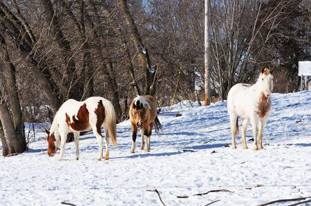buckskin horse: Three Horses in Snow Stock Photo