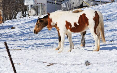 buckskin horse: Two Horses in Snow