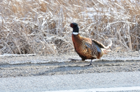 white necked: Pheasant by the Road Stock Photo