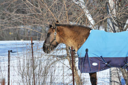 blanket horse: Horse with Blue Blanket