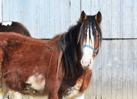 shire horse: Horse by Barn Stock Photo