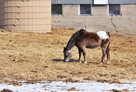 appaloosa: Grazing Horse