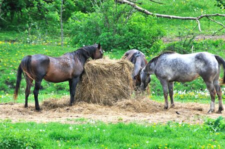 Horses Eating Hay photo