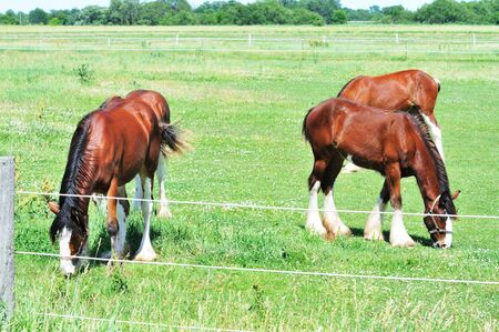 clydesdale: Young Clydesdales