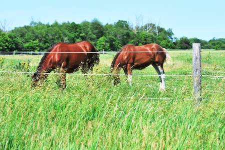 clydesdale: Two Grazing