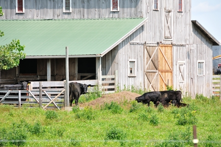 black angus cattle: Rustic Barn and Cows