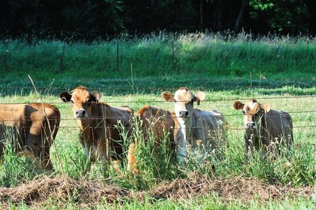 jersey cattle: Cows at Fence
