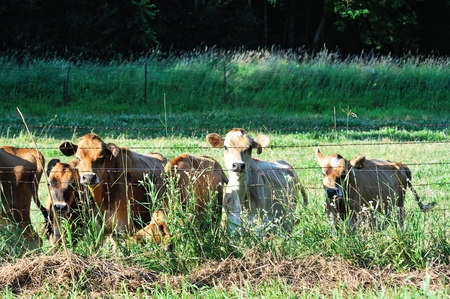 cattle wire wires: Cows at Fence