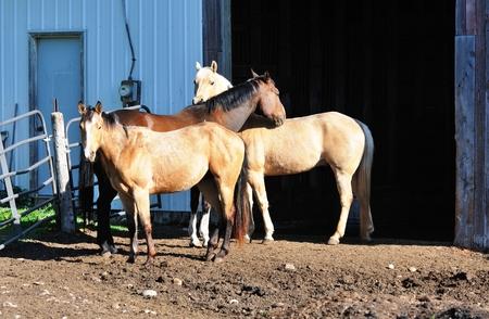 buckskin horse: Three Horses Stock Photo