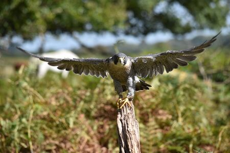 swoop: Peregrine Falcon taking off from tree New Forest Hampshire UK